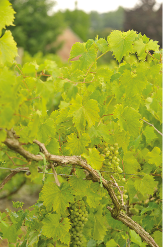 Vignoles in late June