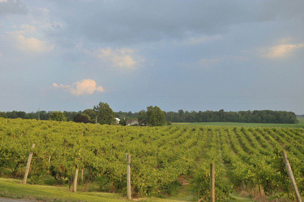 Part of the 15 acres of vines at Turtle Run Winery!