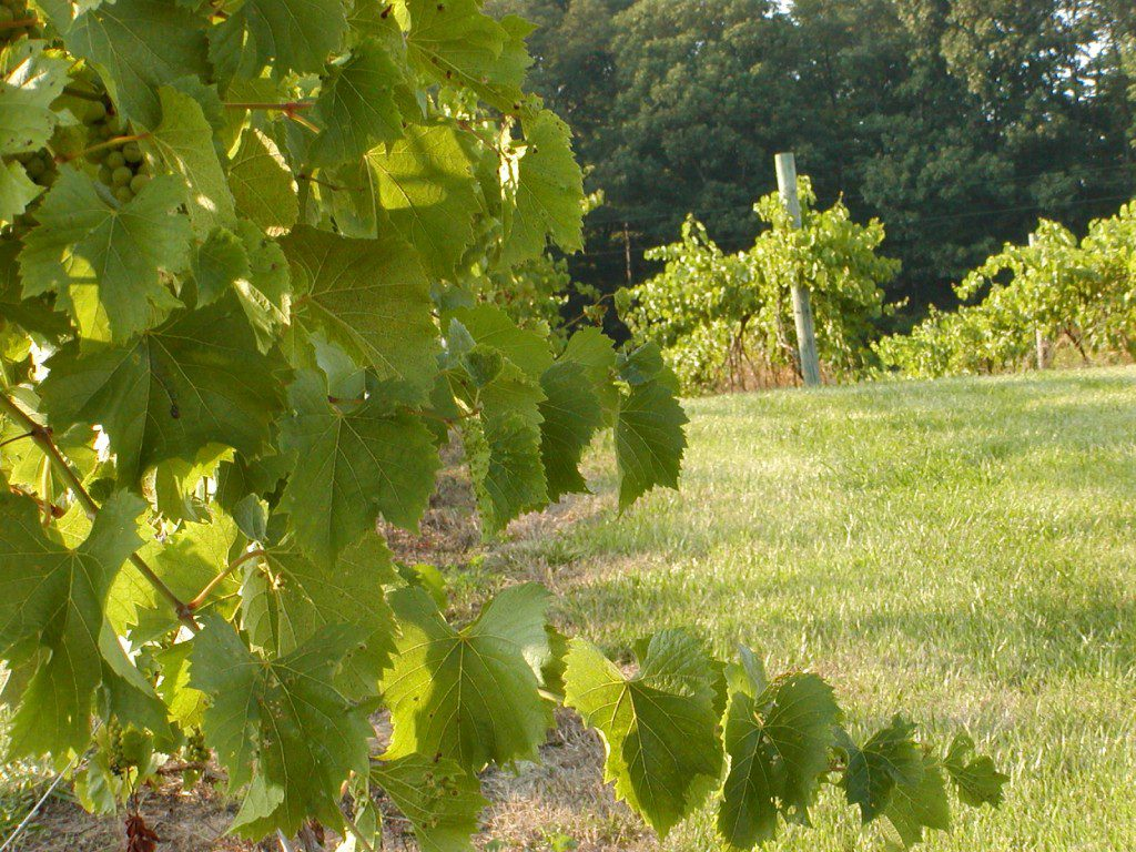 Vignoles planted in 1998