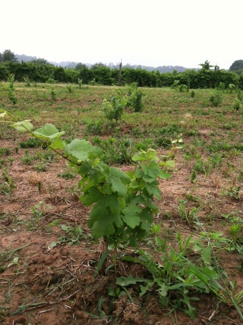 Pinot Noir planted in 2013